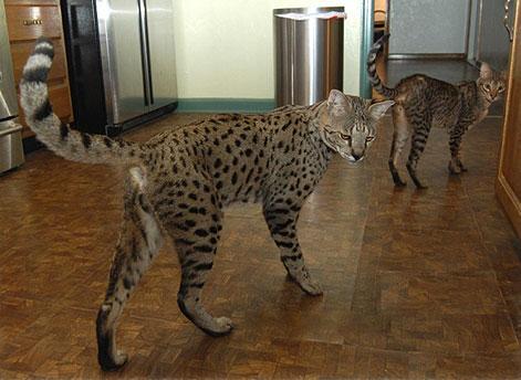 Savannah Cats Full Grown