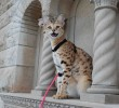 Intoducing the Savannah Cat / Gallery