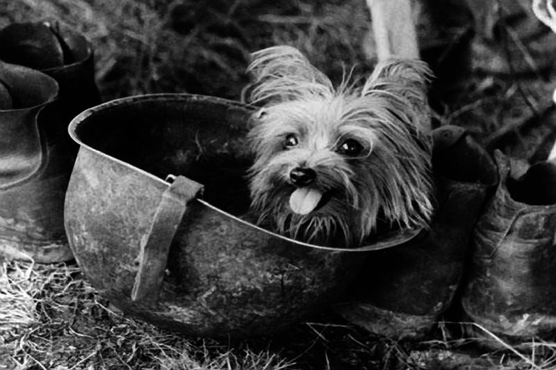 Beloved Friend | Smoky The War Dog WWII Hero | A Tribute to Smoky ...